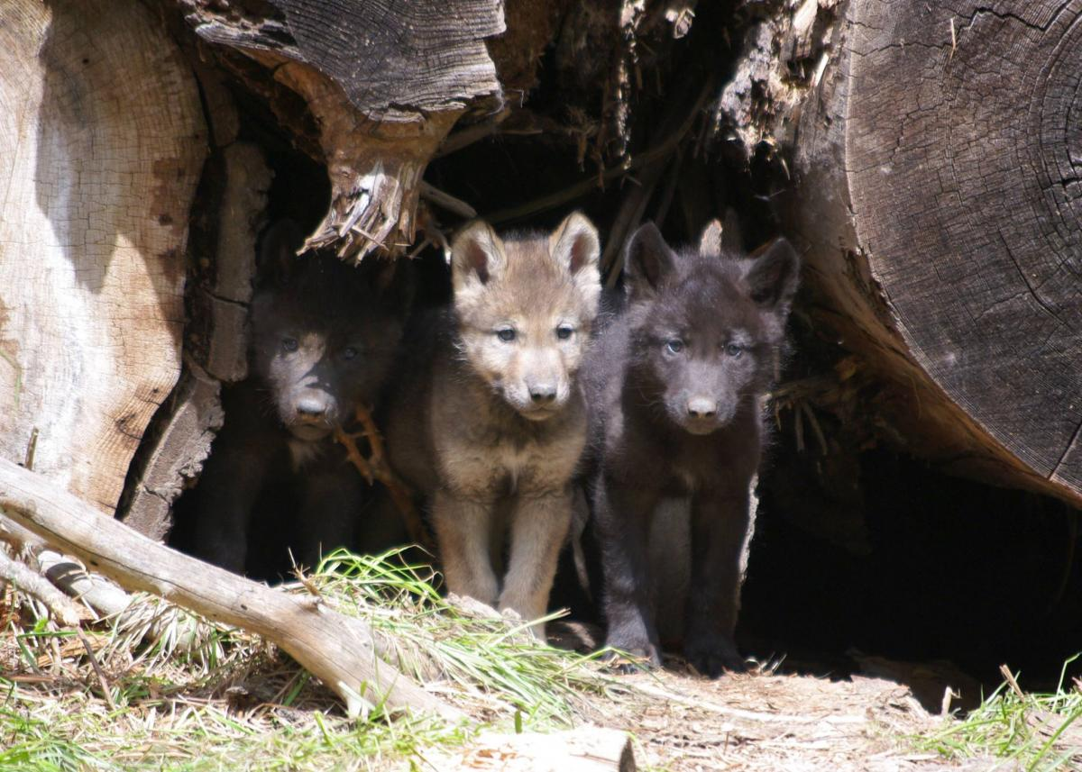 Take action for oregons wolves this year oregon wild oregons wolves need your help wolf hunting and trapping could start this year in oregon sciox Images