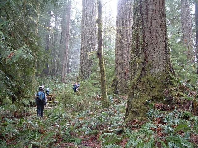 Backyard Forest Management : Western Oregon BLM Backyard Forests  Oregon Wild