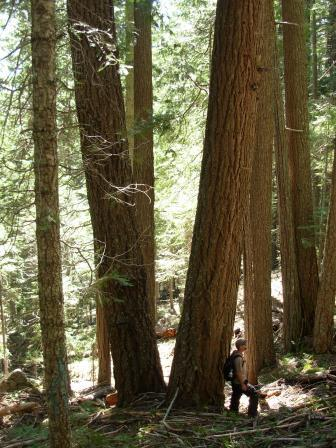 Bybee Timber sale old growth