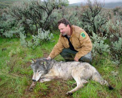 Russ Morgan of ODFW and collared wolf