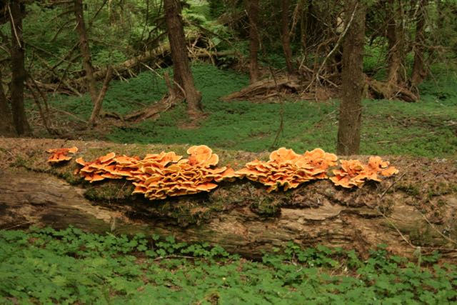 """""""Chicken of the woods"""" popping out on a down log in the Coast Range"""