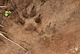 Wolf tracks observed during Oregon Wild's 5th Annual Wolf Rendezvous