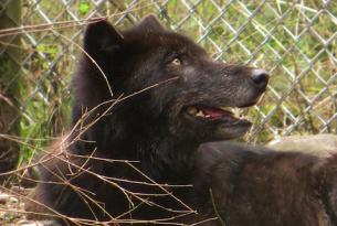 Ione, the wolf adopted by the Oregon Wild Ones