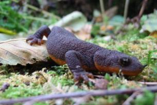 Mazama Newt at Crater Lake